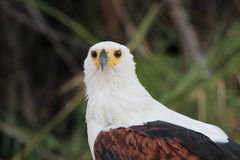 Fish eagle head shot Royalty Free Stock Images