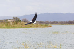 Fish Eagle at Lake Baringo, Kenya Royalty Free Stock Image
