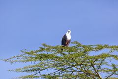 Fish Eagle at Lake Naivasha, Kenya Stock Photos