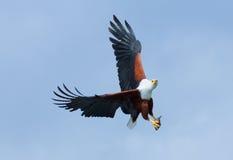 Fish Eagle in Naivasha Lake Stock Photos