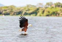Fish Eagle in Naivasha Lake Stock Photo