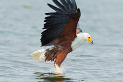 Fish Eagle in Naivasha Lake Stock Photography
