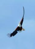 Fish Eagle in Naivasha Lake Stock Photography