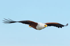 Fish Eagle in Naivasha Lake Royalty Free Stock Image