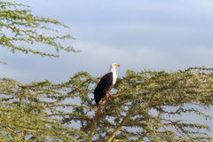 Fish Eagle in Naivasha Lake Royalty Free Stock Photos