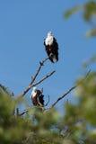 Fish Eagle pair. Fish Eagle (Haliaeetus vocifer) perched high on tree limb, Botswana, 2015 stock photo