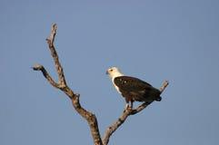 Fish Eagle Perch. Fish eagle surveying the area Stock Images