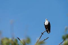 Fish Eagle Perched. Fish Eagle Haliaeetus vocifer perched high on tree limb, Botswana, 2015 royalty free stock photography