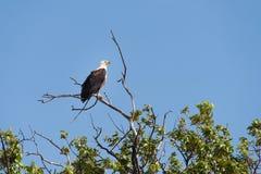 Fish Eagle Perched. Fish Eagle Haliaeetus vocifer perched high on tree limb, Botswana, 2015 royalty free stock photo