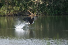 Fish Eagle's Catch (Haliaeetus vocifer) Royalty Free Stock Images