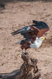 Fish Eagle Taking Flight. An African Fish Eagle taking flight from a wooden log on the banks of the Chobe river in Botswana Royalty Free Stock Photography