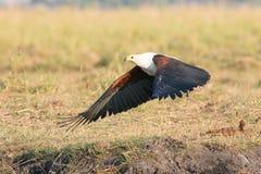 Fish eagle taking flight royalty free stock photos