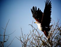 Fish Eagle taking off. Stock Photo
