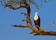 Fish Eagle. In a tree on the banks of the Chobe River Royalty Free Stock Photos