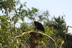 Fish eagle in a tree. Resting on a branch. Picture taken in Uganda, Lake Mburo National park, lake side stock photo