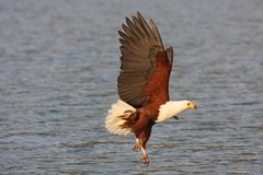 Fish Eagle Umnagazi Stock Images