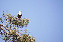Fish Eagle Watching Out from High in a Tree. One Fish Eagle Sitting in a Tree against a Blue Sky, Watching Over the Beautiful Chobe National Park, Botswana Royalty Free Stock Image