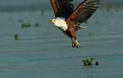 Fish eagle Royalty Free Stock Photo