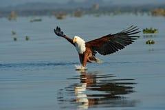 Fish eagle Royalty Free Stock Photos