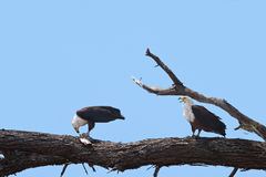 Fish eagles bickering Royalty Free Stock Photography