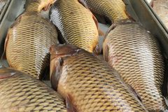 Today is a fish day for your table. Pamper your family. Fish ear and delicious baked carp can be for dinner crucian carp, carp, fish soup, fish menu, fish food stock photography