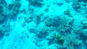 Fish Eating Corals in Andaman Sea near Similan Islands, Thailand. HD GoPro Underwater Slowmotion. stock video