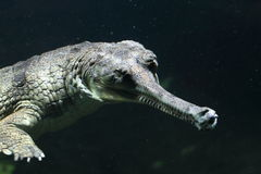 Fish-eating crocodile Royalty Free Stock Images