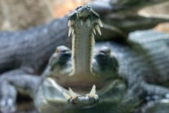 Fish-eating crocodiles open mouth full of sharp teeth close-up. Gavial or gharial Gavialis gangeticus has long, thin snout with interdigitated fangs royalty free stock photography