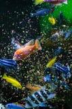 Fish eating flakes food Royalty Free Stock Photos