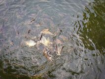 Fish eating in the lake. Fish eating food in the lake Stock Photos