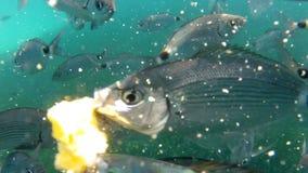 Fish eating frenzy shot underwater stock video