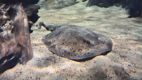 Fish electric rays lies on a sandy bottom under the water. Big fish electric stingrays lies on a sandy bottom under the water stock footage