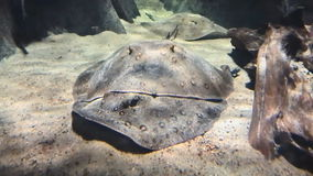Fish electric rays swim at the bottom underwater stock video