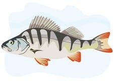 Fish European perch. Illustration of perch fish predator Royalty Free Stock Photography