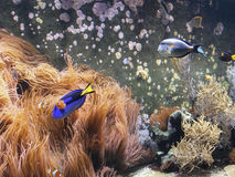 Fish. Exotic colorful fish and corals royalty free stock photography