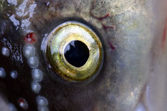 Fish eye. Close-up of spotted fish eye Stock Photo