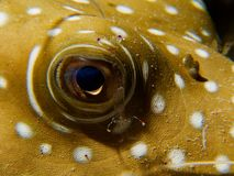 Fish eye with cleaner shrimp royalty free stock image