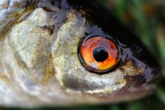 Fish Eye Close-Up Royalty Free Stock Photos