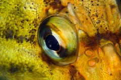 Fish eye closeup Royalty Free Stock Photos