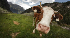 Fish-eye cow Stock Photos