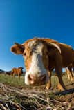 Fish-eye lens view of cow head. A closeup of a brown cow's head, with fish-eye lens effect. Other cows are milling around the open plains behind Royalty Free Stock Photos