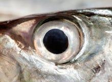 Fish Eye mackerel  ,Close-Up Stock Photos