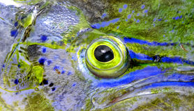 Fish eye of mahi-mahi. Close up of eye of mahi mahi or dolphin fish stock photography