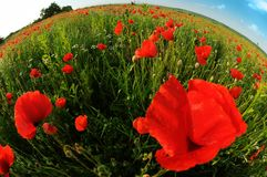 Fish-eye poppy field Stock Images