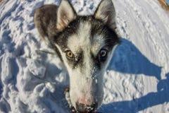 Fish Eye portrait of husky dog muzzle closeup Stock Images