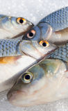 Fish eyes Stock Photography
