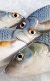 Fish eyes Stock Photography