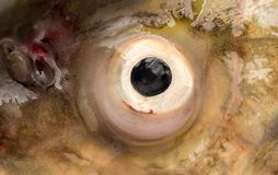 Fish eyes. macro. Photos in the studio Royalty Free Stock Images