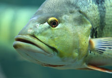 Fish Face stock photo