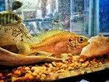 Fish face. A juvenile bluegill fish in an aquarium Royalty Free Stock Images